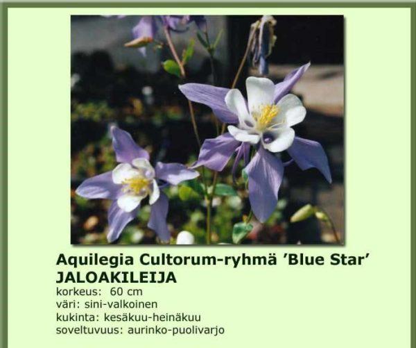 Akileija jaloakileija blue star