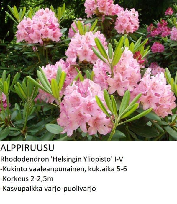 Alppiruusu Helsingin yliopisto