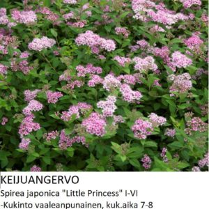 Angervo Keijuangervo little princess