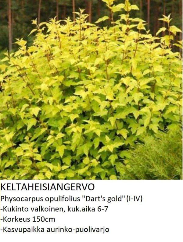Angervo Keltaheisiangervo darts gold
