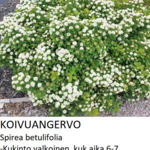 Angervo Koivuangervo