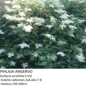 Angervo Pihlaja-angervo