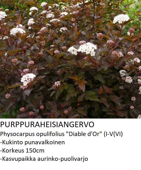 Angervo Purppuraheisiangervo diable d or