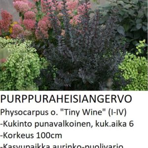 Angervo Purppuraheisiangervo tiny wine
