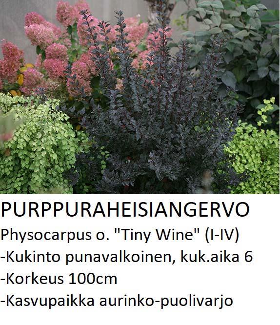 Angervo Purppuraheisiangervo tiny wine