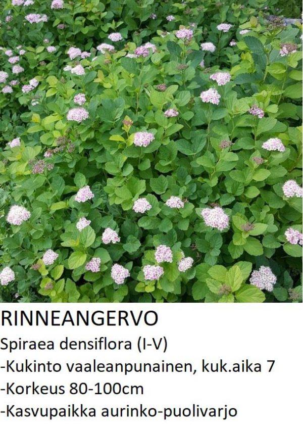 Angervo Rinneangervo