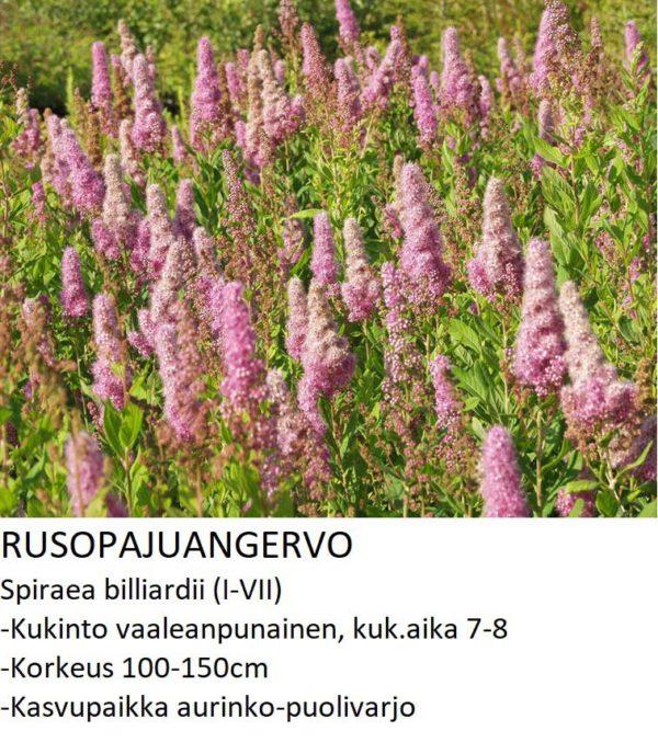 Angervo Rusopajuangervo