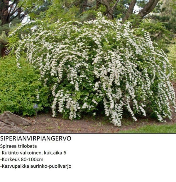 Angervo Siperianvirpiangervo