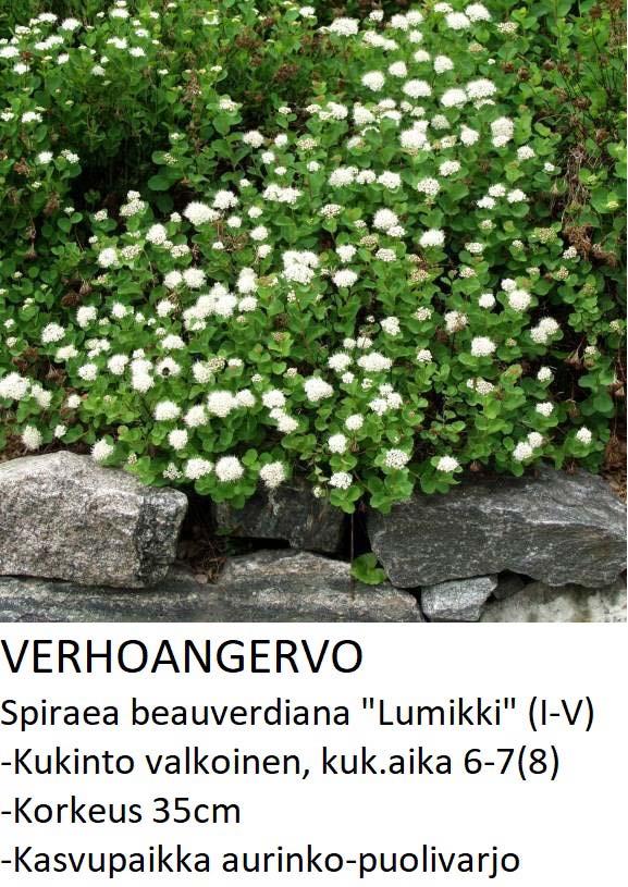 Angervo Verhoangervo lumikki