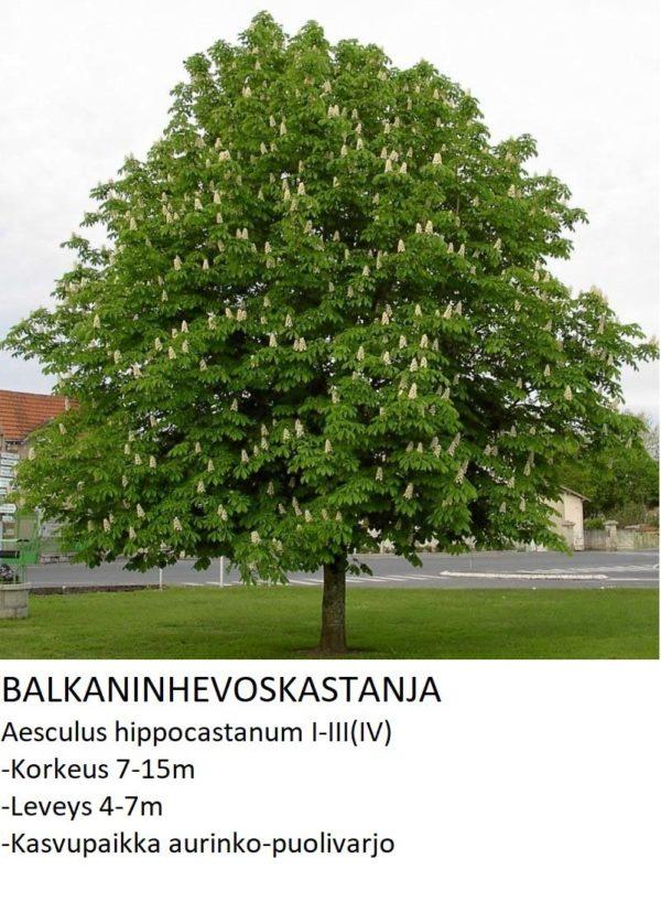 Balkaninhevoskastanja 150-200cm
