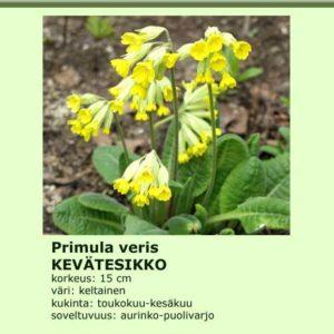 Esikko kevätesikko