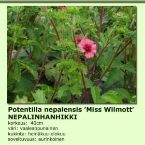 Hanhikki nepalinhanhikki miss wilmott