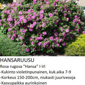 Hansaruusu