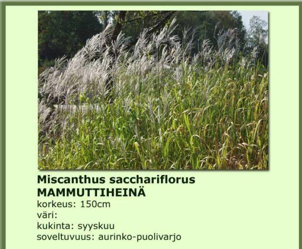 Heinä mammuttiheinä