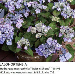 Hortensia Jalohortensia twist-n-shout
