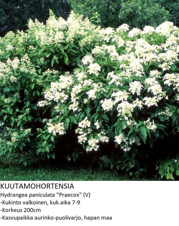 Hortensia Kuutamohortensia