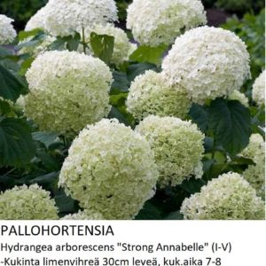 Hortensia Pallohortensia strong annabelle