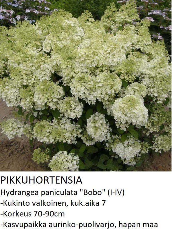 Hortensia Pikkuhortensia bobo