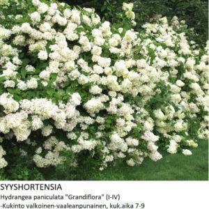 Hortensia Syyshortensia grandiflora