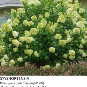 Hortensia Syyshortensia limelight