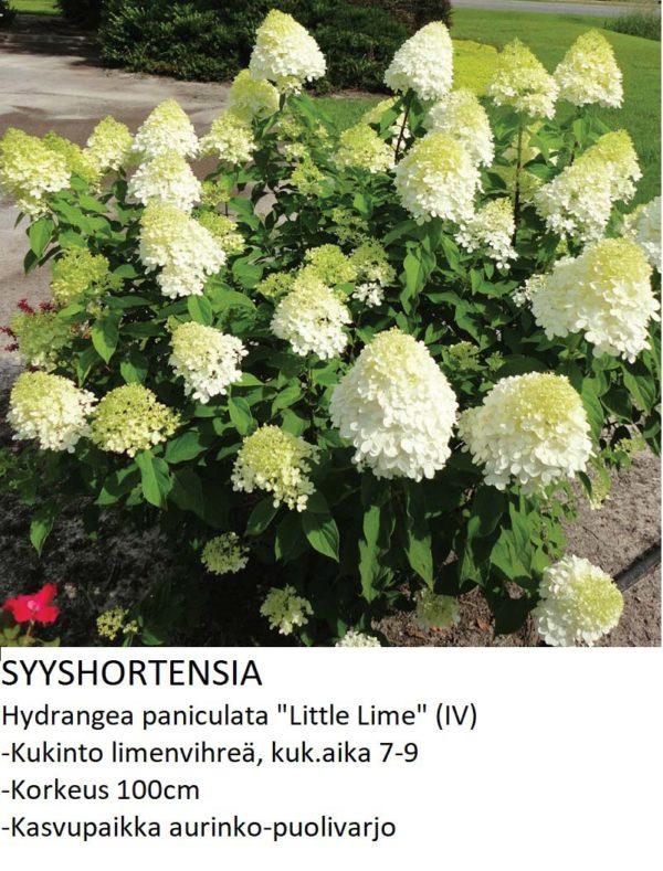 Hortensia Syyshortensia little lime