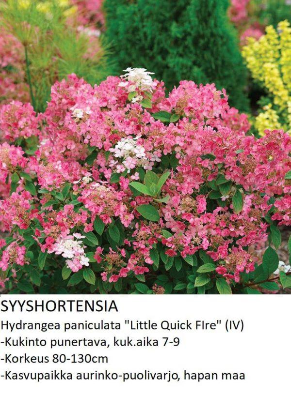 Hortensia Syyshortensia little quick fire