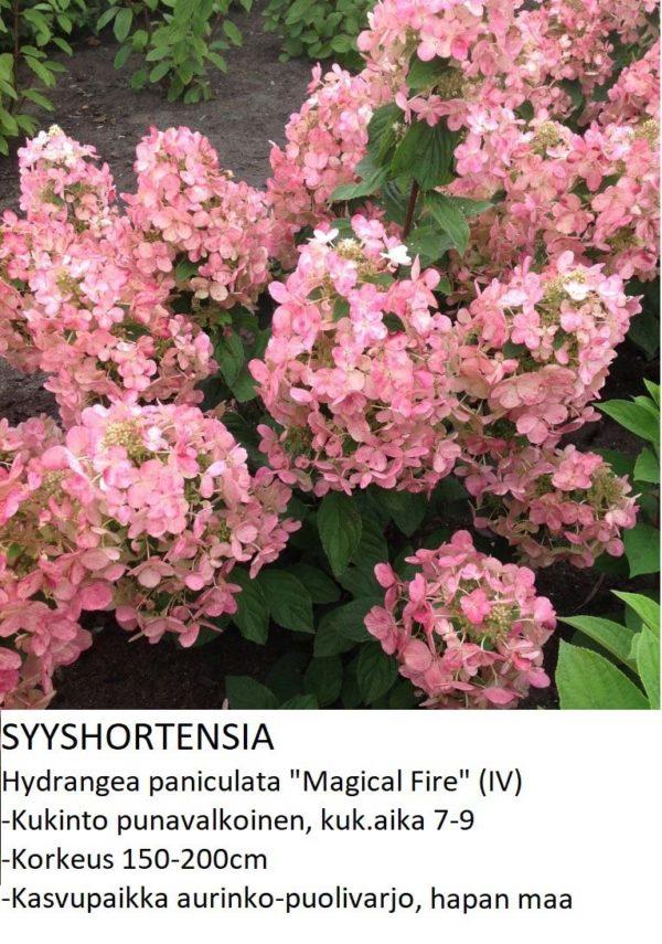 Hortensia Syyshortensia magical fire