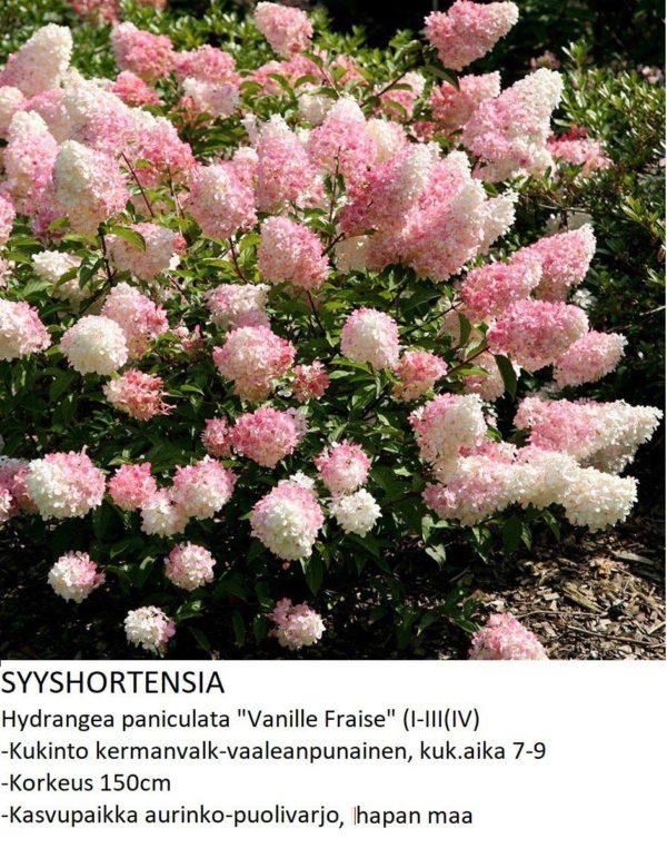 Hortensia Syyshortensia vanille fraise