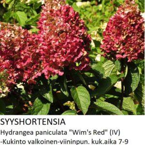 Hortensia Syyshortensia wim_s red