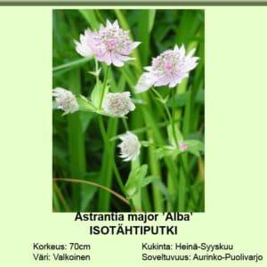 Isotähtiputki valkoinen