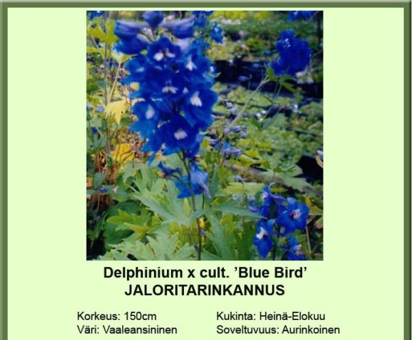 Jaloritarinkannus blue bird