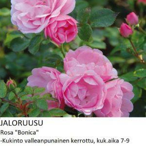 Jaloruusu bonica