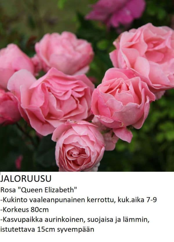 Jaloruusu queen elizabeth