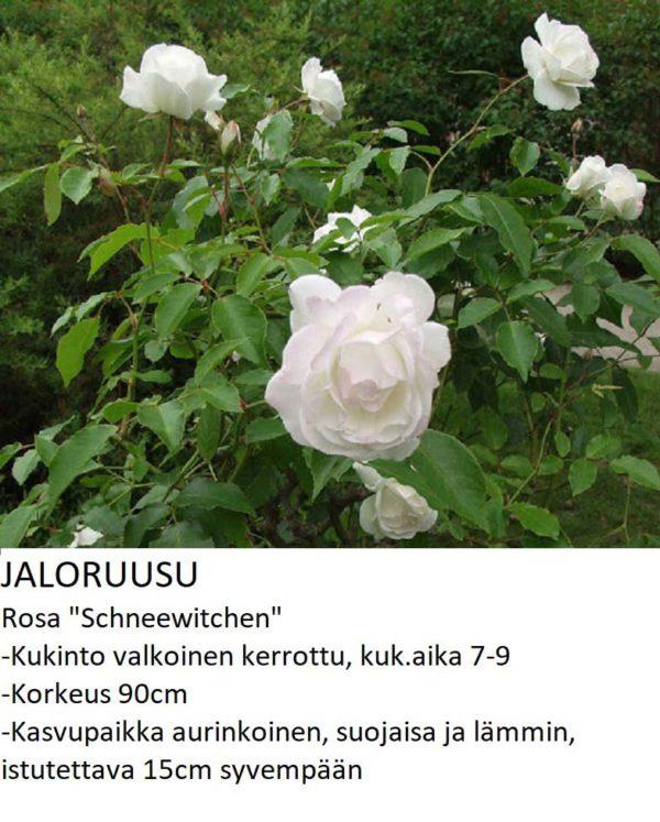 Jaloruusu schneewitchen