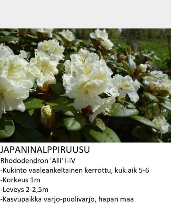 Japaninalppiruusu alli