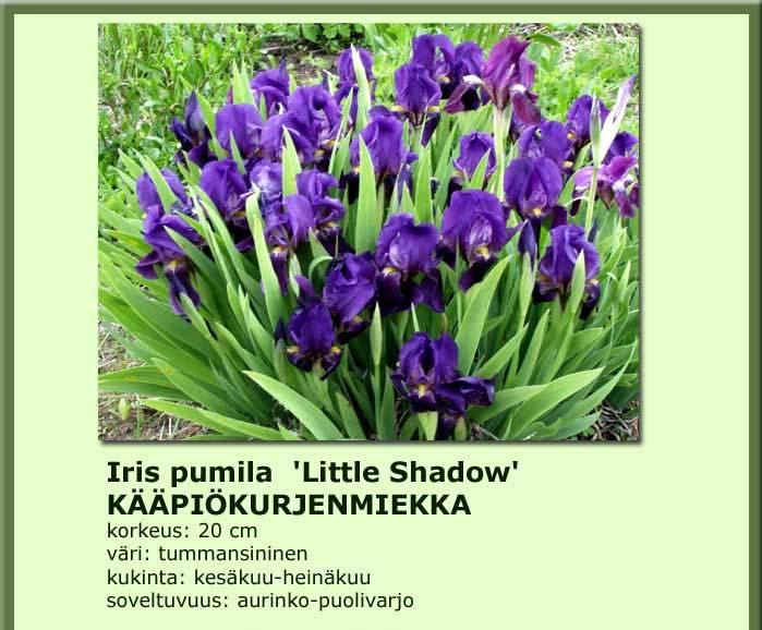 Kääpiökurjenmiekka little shadow