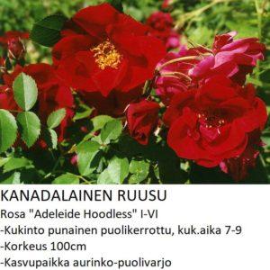 Kanadalainen ruusu adeleide hoodless