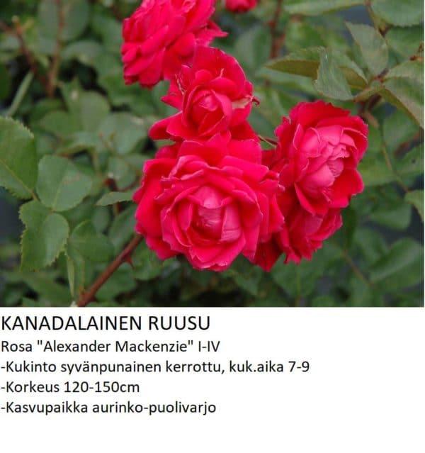 Kanadalainen ruusu alexander mackenzie