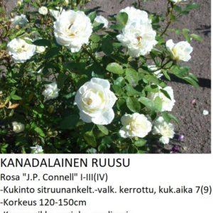 Kanadalainen ruusu j.p. connell
