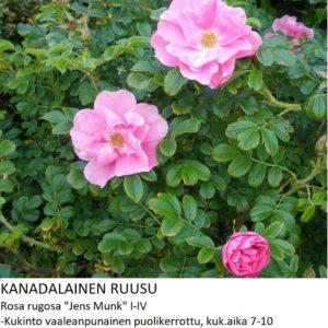 Kanadalainen ruusu jens munk