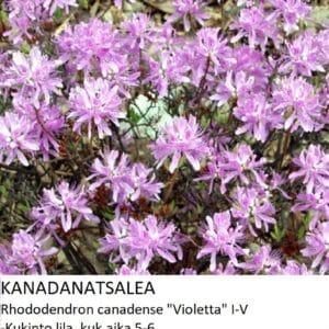Kanadanatsalea violetta
