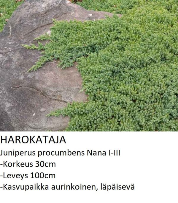Kataja Harokataja