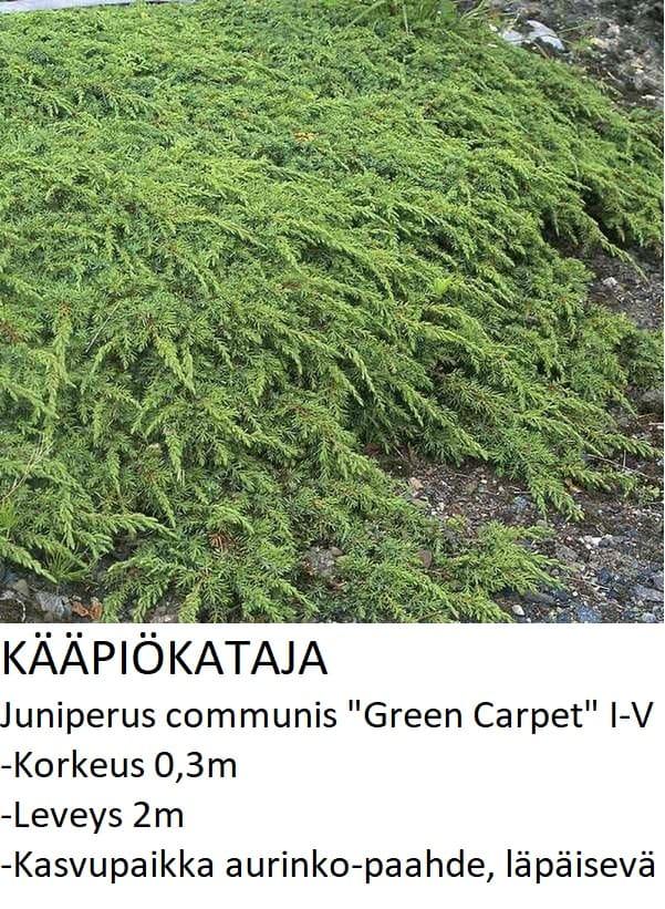 Kataja Kääpiökataja green carpet