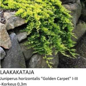 Kataja Laakakataja golden carpet