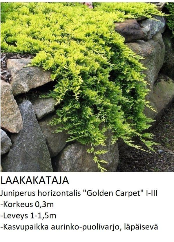 Kataja Laakakataja golden carpet