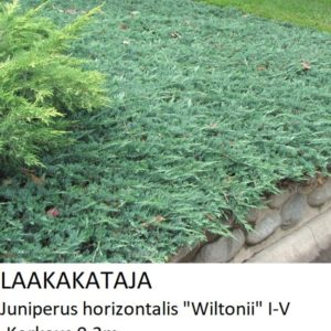 Kataja Laakakataja wiltonii