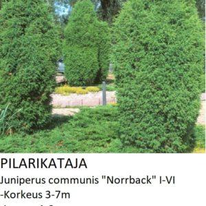 Kataja Pilarikataja norrback