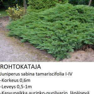 Kataja Rohtokataja sabina tamariscifolia