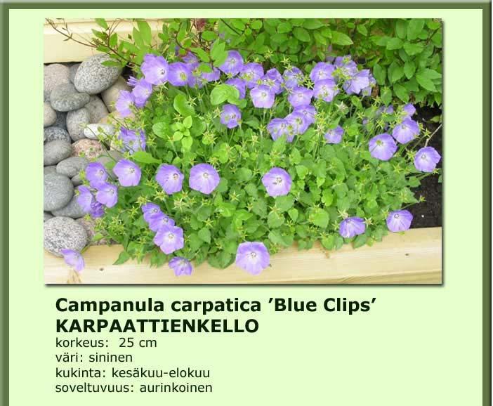 Kellokukka karpaattienkello blaue clips