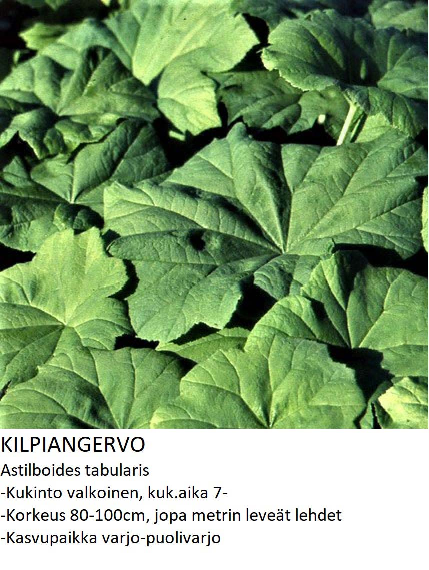 Kilpiangervo